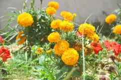 Flores del patula de Tagetes imagenes de archivo