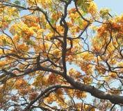 Flores del pavo real Fotografía de archivo