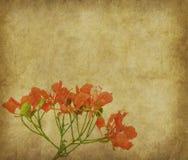 Flores del pavo real en árbol Foto de archivo libre de regalías
