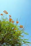 Flores del pavo real en árbol del poinciana Fotos de archivo