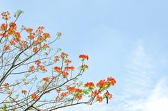 Flores del pavo real en árbol del poinciana Foto de archivo libre de regalías