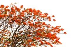 Flores del pavo real en árbol del poinciana Imagenes de archivo
