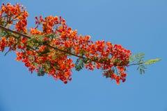 Flores del pavo real en el árbol de Poinciana Fotografía de archivo