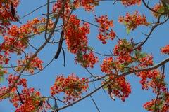 Flores del pavo real en el árbol de Poinciana Fotografía de archivo libre de regalías