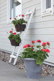 Flores del Pelargonium Fotos de archivo libres de regalías