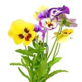 Flores del pensamiento Imágenes de archivo libres de regalías