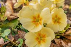 Flores del pensamiento en una cama del jardín en la plena floración Los pensamientos amarillos representan la felicidad o una dis foto de archivo