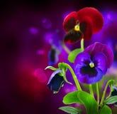 Flores del pensamiento sobre negro Fotos de archivo libres de regalías