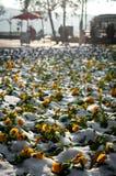 Flores del pensamiento sorprendidas con la primera nieve en la ciudad Foto de archivo libre de regalías