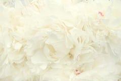 Flores del Peony Fotografía de archivo libre de regalías