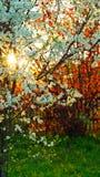 Flores del peral contra la perspectiva del avellano rojo fotos de archivo libres de regalías