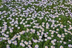 Flores del perennial del aster Imagen de archivo libre de regalías
