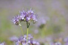 Flores del phacelia del flor en el día de verano Fotografía de archivo libre de regalías