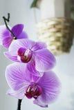 Flores del Phalaenopsis Fotografía de archivo libre de regalías