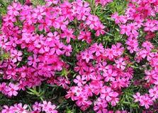 Flores del phlox de musgo - opinión del primer Fotos de archivo libres de regalías