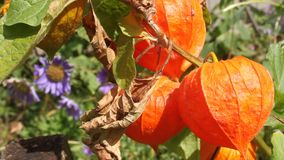 Flores del Physalis Imagenes de archivo