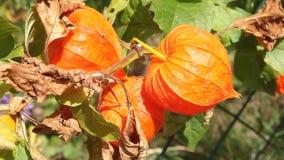 Flores del Physalis Fotos de archivo libres de regalías