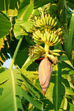 Flores del plátano Fotos de archivo
