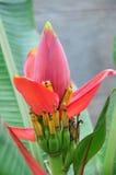 Flores del plátano Imágenes de archivo libres de regalías