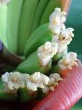 Flores del plátano Foto de archivo