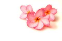 Flores del Plumeria Fotos de archivo