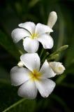 Flores del Plumeria   Foto de archivo