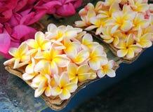 Flores del Plumeria Fotografía de archivo