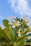 Flores del Plumeria Foto de archivo libre de regalías