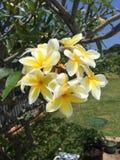 Flores del Plumeria Imagenes de archivo