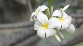 Flores del Plumeria metrajes