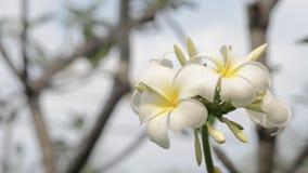 Flores del Plumeria almacen de metraje de vídeo