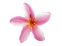 Flores del Plumeria aisladas en el fondo blanco Imagenes de archivo