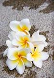 Flores del Plumeria del Frangipani en piso Foto de archivo libre de regalías