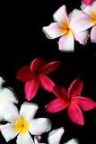 Flores del Plumeria en el agua Foto de archivo libre de regalías