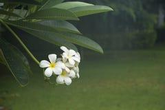Flores del Plumeria en el jardín fotos de archivo