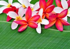 Flores del Plumeria en la hoja del plátano Fotos de archivo libres de regalías