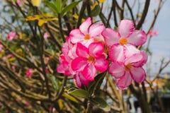 Flores del Plumeria en Tailandia Imágenes de archivo libres de regalías