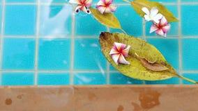 Flores del Plumeria que flotan en agua almacen de metraje de vídeo