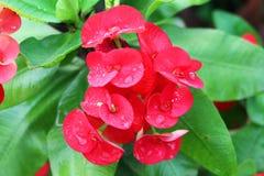 Flores del Poi Sian Imagen de archivo