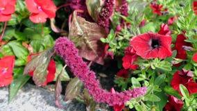 Flores del polemonio del rosa salvaje en el jardín Fotografía de archivo libre de regalías