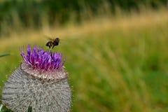 Flores del prado - flor del cardo Fotos de archivo