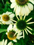 Flores del primer del zing de la mamá Fotos de archivo