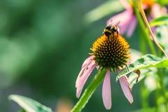 Flores del purpurea y del abejorro del Echinacea Imagen de archivo libre de regalías