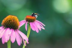 Flores del purpurea y del abejorro del Echinacea Fotos de archivo