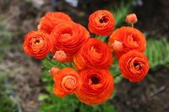 Flores del ranúnculo Foto de archivo libre de regalías