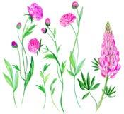 Flores del ranúnculo en acuarela Fotografía de archivo libre de regalías