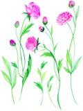 Flores del ranúnculo en acuarela Imagenes de archivo