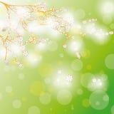 Flores del árbol de Cherr del fondo de la tarjeta de pascua Imágenes de archivo libres de regalías