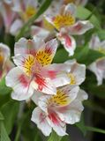 Flores del resorte foto de archivo libre de regalías