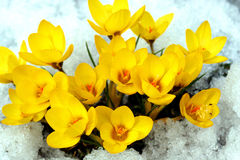 Flores del resorte. Fotografía de archivo libre de regalías